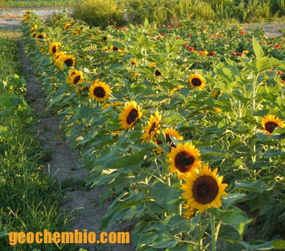Helianthus annuus (common sunflower): brief facts, life cycle ...